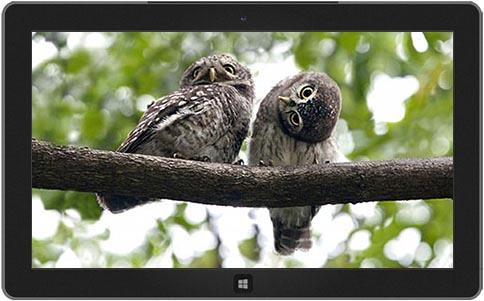 ogling-owls